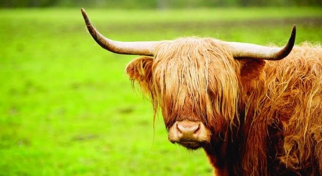 Scotland_cows